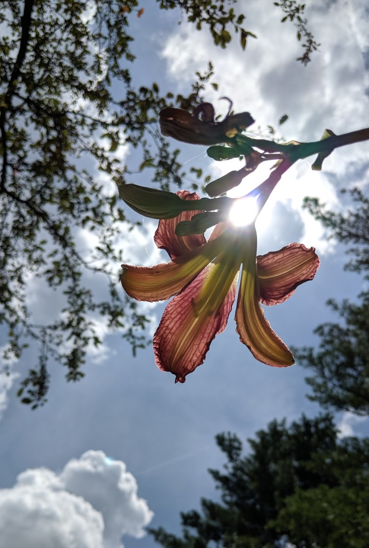 Sun shining through a lily flower.
